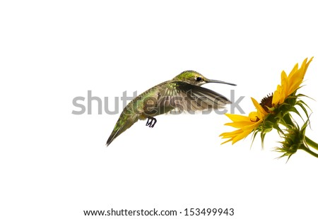 Ruby throated hummingbird, female, hovering at a sunflower, isolated on white.  - stock photo