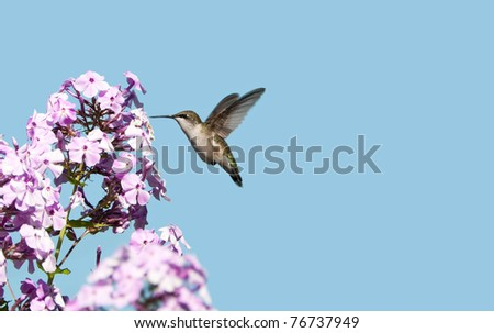 Ruby throated hummingbird, female,  in motion in the garden approaching flowers. - stock photo
