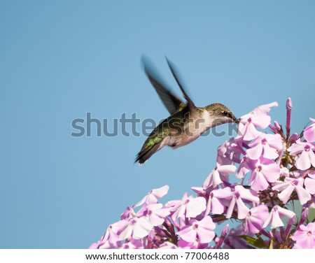 Ruby throated hummingbird, female, in motion in the garden drinking nectar from phlox flowers. - stock photo