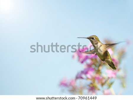 Ruby throated hummingbird, female,  in motion in the garden in the sunshine in summer. - stock photo