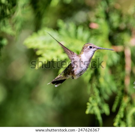 Ruby Throated Hummingbird, flying in a Boreal forest in North Quebec Canada. These birds come to Canada to breed during the summer and migrate south in the winter. The female is more common is summer. - stock photo