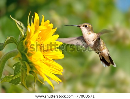 Ruby-throated Hummingbird hovering next to a bright yellow sunflower - stock photo