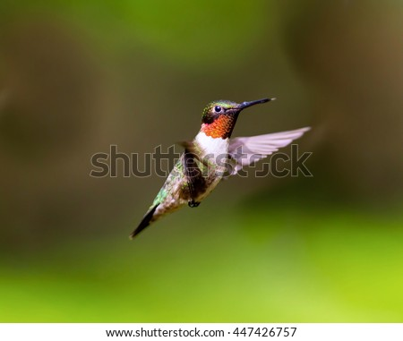 Ruby Throated Hummingbird male, after its long migration from the south to the north. Hovering in space in a boreal forest in Quebec Canada.  - stock photo