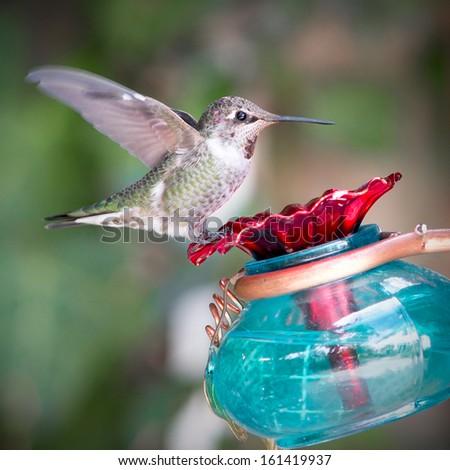 Ruby Throated Hummingbird on a Bird Feeder - stock photo