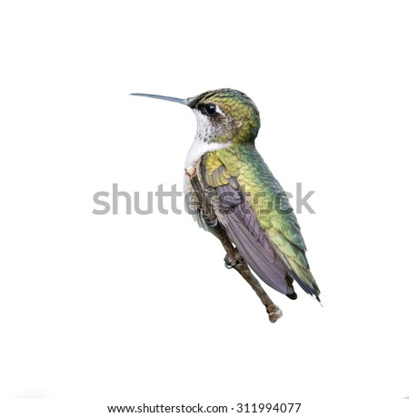 Ruby-throated Hummingbird on White Background Isolated - stock photo