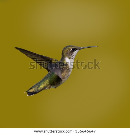 Ruby-throated Hummingbird on Yellow Background - stock photo