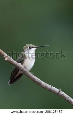 Ruby throated hummingbird resting on branch - stock photo