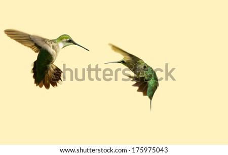 Ruby throated hummingbirds in conflict in the summer, isolated on a neutral background with copy space.summer.  - stock photo