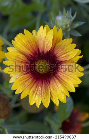 Rudbeckia Flower in the morning dew. - stock photo