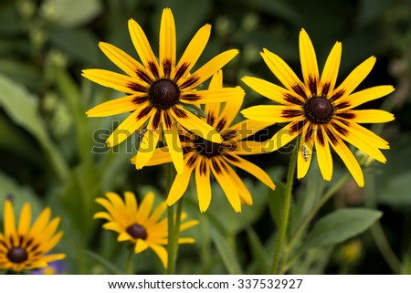 rudbeckia flowers on a bed beautiful summer background with long-horned beetles - stock photo