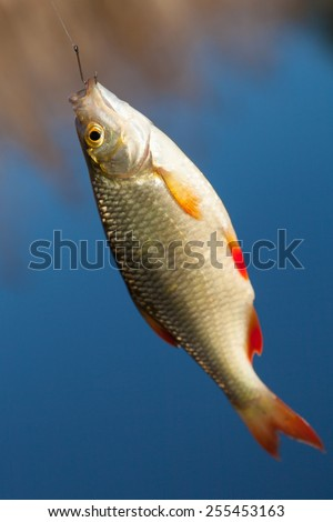 Rudd fish hanging on a fishing hook on a background of blue water - stock photo