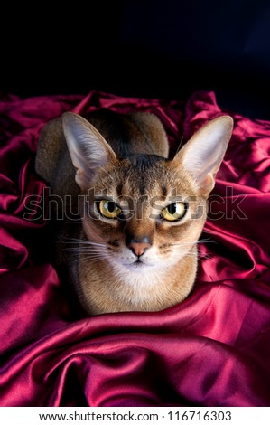 Ruddy Abyssinian Cat - stock photo