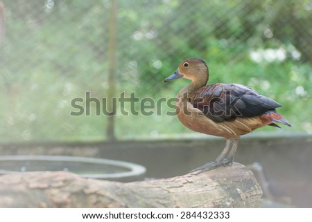 Ruddy Duck is holding on perch, animal - stock photo