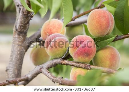ruddy ripe peaches on a tree - stock photo