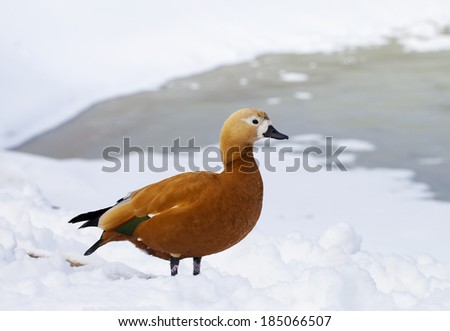 Ruddy Shelduck. Ruddy Shelduck, or red duck (lat. Tadorna ferruginea) waterfowl family of ducks, similar to the common. The bird has a orange-brown plumage with a lighter head.  - stock photo