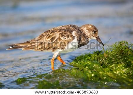 Ruddy Turnstone (Arenaria interpres) on the beach of Paracas Bay, Peru. Paracas Bay is well known for its abundant wildlife. - stock photo