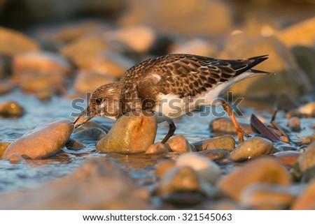 Ruddy Turnstone in action - stock photo