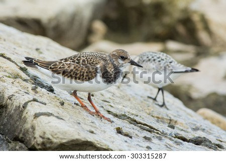Ruddy Turnstone on the rocks near the beach during the fall migration. - stock photo