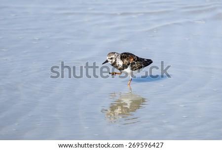 Ruddy Turnstone Sea Bird on the Beach - stock photo