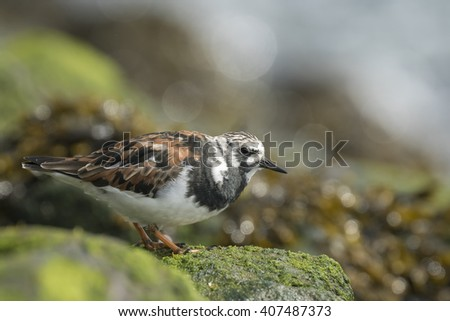 Ruddy turnstone wading bird Arenaria Interpres in winter plumage, on the background a bird in summer plumage foraging in between the rocks at the shore. These migratory birds live in flocks at shore. - stock photo
