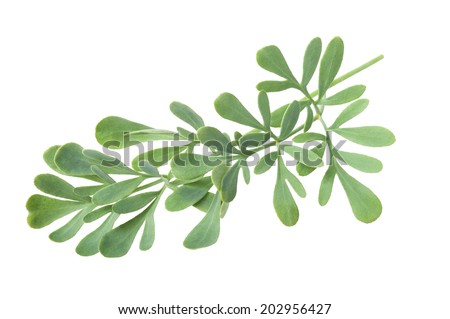 Rue branch isolated on white - stock photo