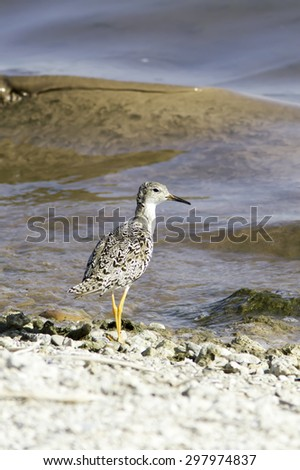 ruff in natural habitat / Philomachus pugnax - stock photo