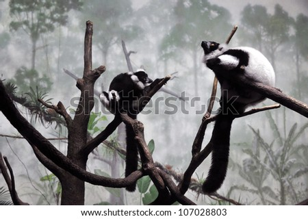 Ruffed Lemurs - stock photo