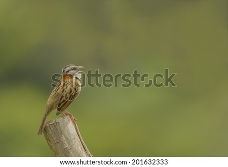 Rufous-collared sparrow sits atop a fence post calling as photographed in Costa Rica. - stock photo