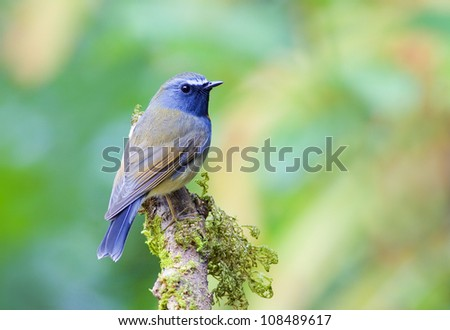 Rufous-gorgeted Flycatcher - stock photo