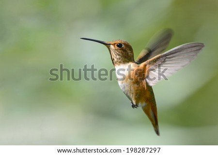 Rufous Hummingbird in Flight - stock photo