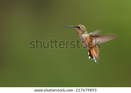 Rufous Hummingbird male in flight - stock photo