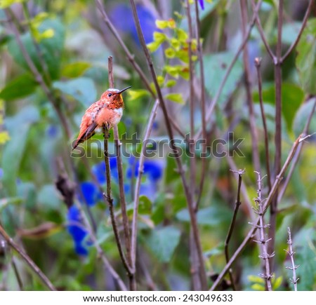 Rufous Hummingbird male perched on a branch waiting to protect his area from intruders, This picture makes a good subject for a card or painting. the shot was taken in the afternoon sun in a forest, - stock photo