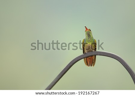 Rufous tailed hummingbird perched on a metal rail.. - stock photo