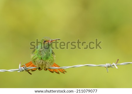 Rufous tailed hummingbird perching on a barbed wire fence. - stock photo