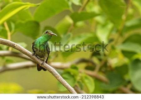 Rufous-tailed hummingbird watches warily from a perch in Costa Rica. - stock photo