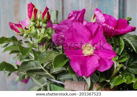 Rugosa roses (Rosa rugosa, Japanese rose, or Ramanas rose) - stock photo