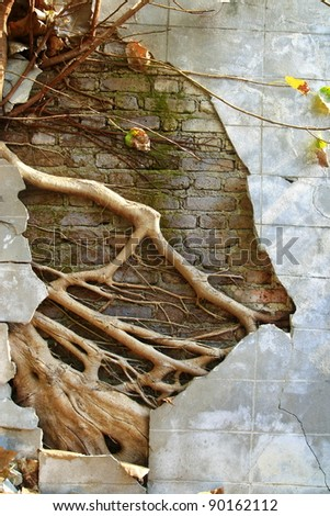 ruin concrete wall with big tree root - stock photo
