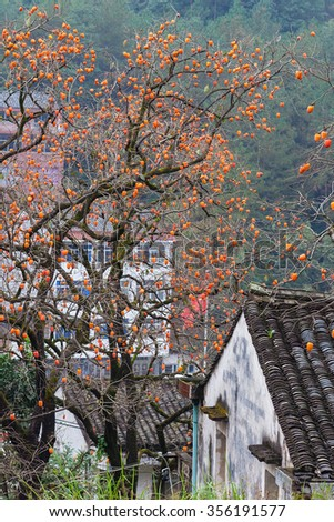 Ruined farmhouse and persimmon, Diospyros kaki, tree with brown branches, orange fruit and autumn leaves in chinese countryside - stock photo