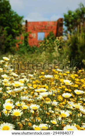 Ruins of  old farm house and daisy flowers at foreground. South of Portugal. Selective focus on the flowers. - stock photo