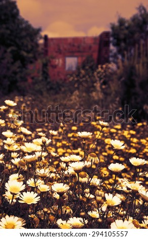 Ruins of  old farm house and daisy flowers at foreground. South of Portugal. Sunset. Toned photo. Selective focus on the flowers.  - stock photo