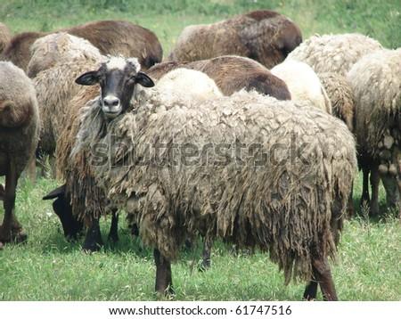 Rump Sheep - stock photo