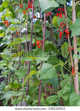 runner bean plants in row growing up garden canes - stock photo