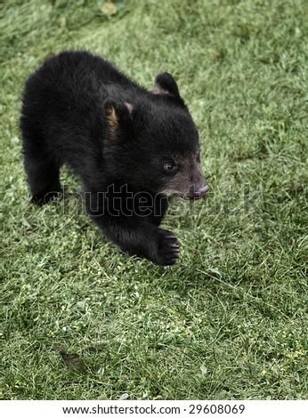 Running American Black Bear (Ursus americanus) Cub - captive animal - stock photo