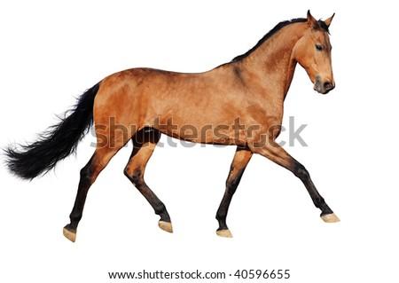 Running bay horse, isolated - stock photo