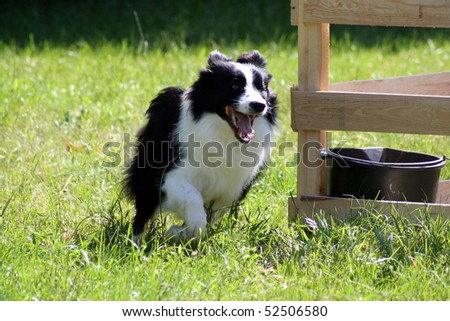 Running border collie - stock photo