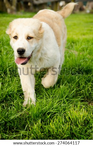 Running Central Asian Shepherd Puppy in a park - stock photo