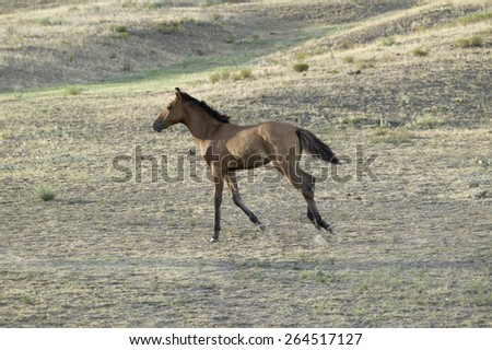 Running colt at Black Hills Wild Horse Sanctuary, the home to America's largest wild horse herd, Hot Springs, South Dakota - stock photo