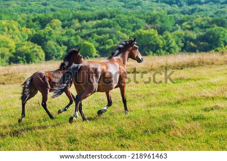 Running dark bay horses in a meadow with green grass - stock photo