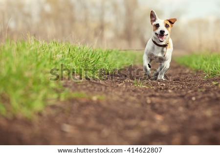Running dog at summer. Jumping fun and happy pet walking outdoors. - stock photo