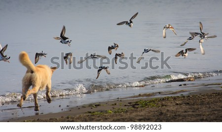 Running dog hunting birds - stock photo